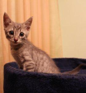 Шустрый дымчатый котенок