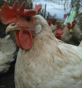 Продаю кур и петухов