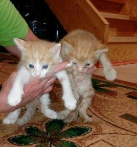 Отдам рыжих котят