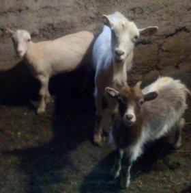 Продам козу с двумя козочками