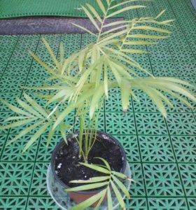 Название незнаю растет пальмой