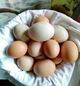 Домашние утиные  яйца