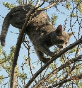 Кошка, породы- Корат