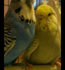 Выставочные попугаи