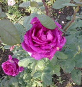 Продажа розы