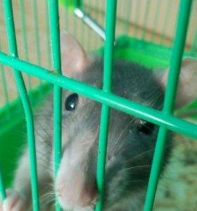 Бесплатно Крыса девочка
