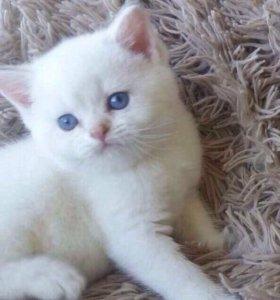 Золотой котенок редкого окраса - поинт