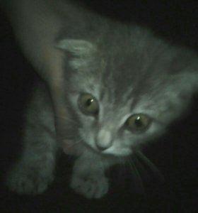 Вислоухый котик
