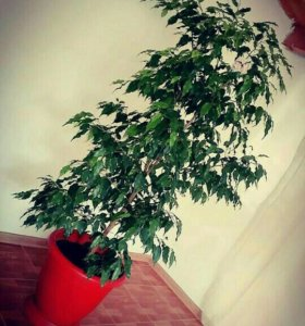 """Цветы """" Анастасия """" очень красивые"""