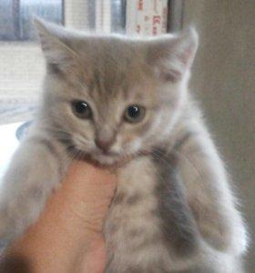 Шотландский котёнок , лиловая девочка