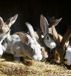 Кролики на разведение и крольчатина