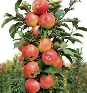 Саженцы плодовых деревьев и розы