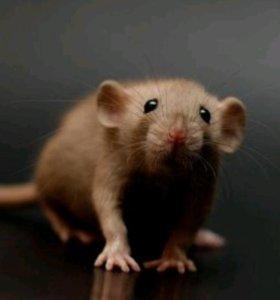 Бурмиз шоколадная  крыска Дамбо