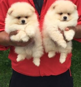 Продажа щенков померанского шпица