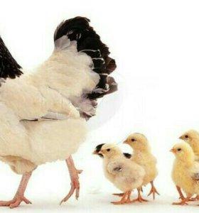 Цыплята 2 недели