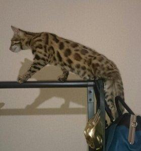 Редкий гибрид F1 от амурского леопардового кота