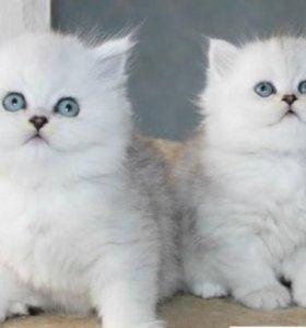 Шикарные котята, серебристые Персидские шиншиллы