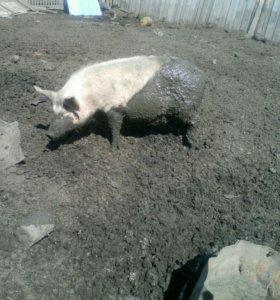 Свинина. На мясо деревенское