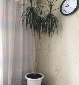 Пальма, замиокулькас