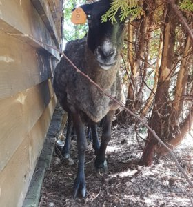 Баран и овцы