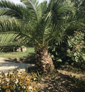 финиковая пальма 🌴