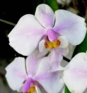 Орхидея P.schilleriana'MSH'(MC)