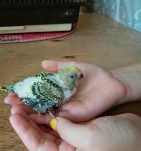 Волеистые попугаи (получехи )