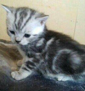 Шотландский мраморный котенок