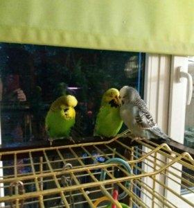 Выставочный волнистый попугай Чехи
