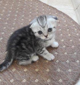 Котята шатланских
