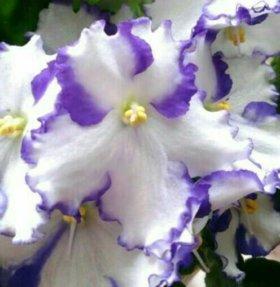 Фиалка, перламутровый белый с фиолетовым кантом