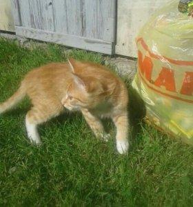 Рыжий котенок Фокс