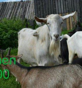 Коза, козел, козлик и козочки