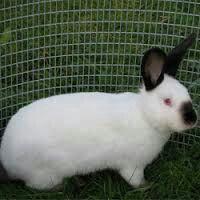 Крольчата обмен продажа