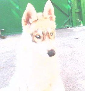 Голубоглазый щенок сибирской хаски