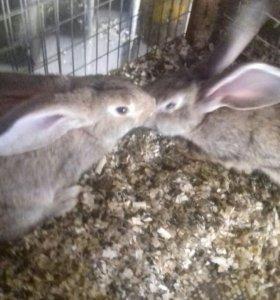 Кролики крупныхпород