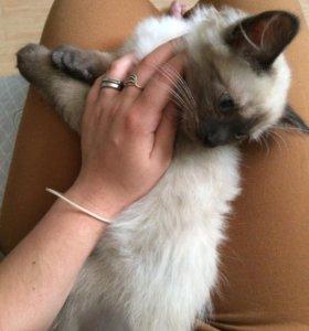 кошка полусиам-полуперс