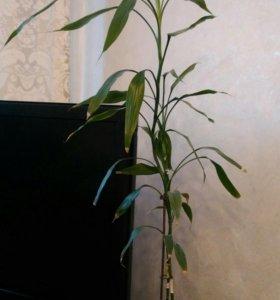 Растение комнатное бамбук