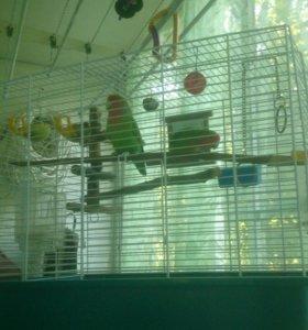 Неразлучники попугаи. Окрас зеленый