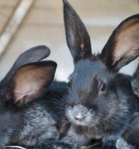 Крольчата серебро