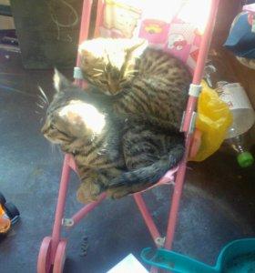 "2 котенка -""тигренка""ищут себе дом"
