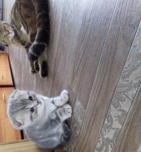 Продам двух котят.