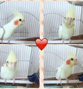 Попугай Корелла, самец