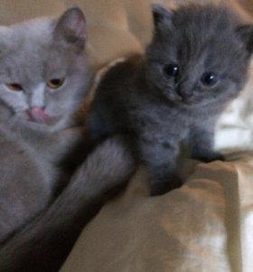 Продаются котятки британские
