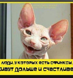 Донской сфинкс(девочка)