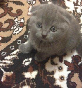 Шотландские котята)))