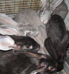 Продам мясную породу кроликов