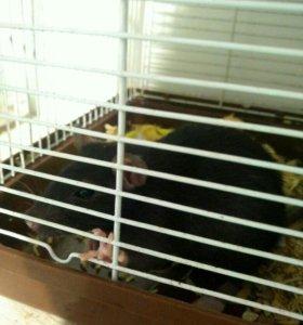 Продам крыс с клетками