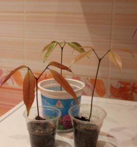 молодое растение личи