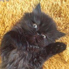 котята персидские